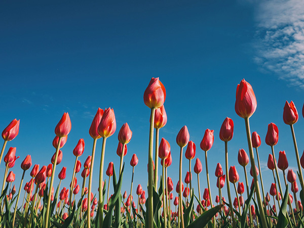tulips-facial-rejuvenation